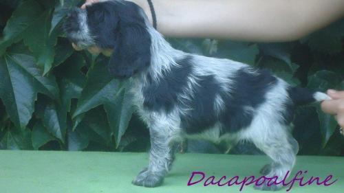 EL DORADO Dacapoalfine - ''MAXWELL''